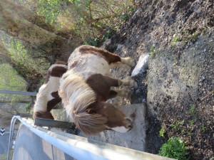 Befuddled Basque Ponies