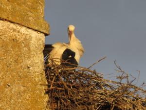 Mazarife Storks